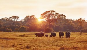Wild elephants spotted during Safari